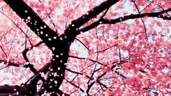 天马山的樱花种好了,以后来这赏花吧!