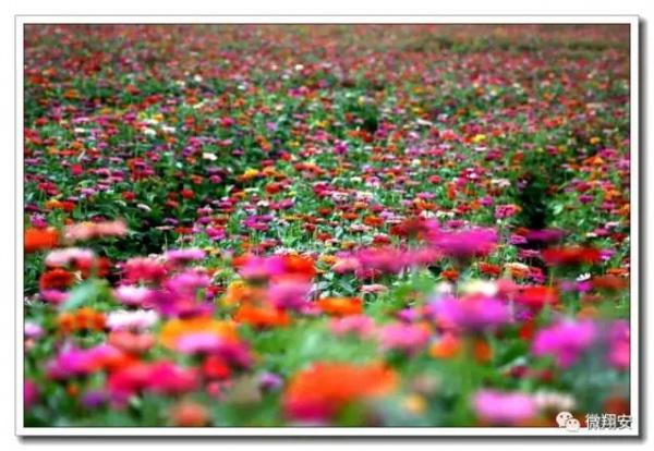 美爆了~香山第二季50亩花海全面盛开...