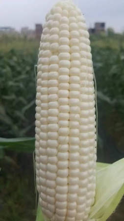煮就好吃的不得了的玉米?仅限一天